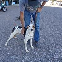 Harrier/Foxhound Mix Dog for adoption in Golden Valley, Arizona - Nikey