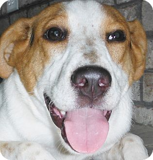Foxhound Mix Dog for adoption in Chapel Hill, North Carolina - Maliah