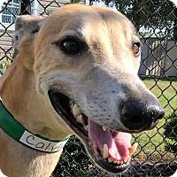 Adopt A Pet :: Calvin Harrison - Longwood, FL