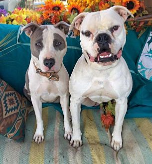 American Staffordshire Terrier Mix Dog for adoption in Toluca Lake, California - Abby