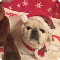 Adopt A Pet :: Shelly - Nanuet, NY