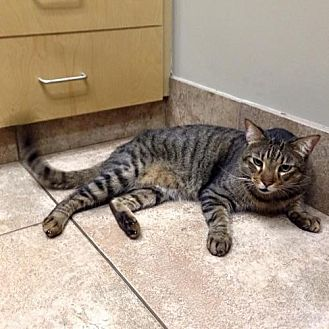 Domestic Shorthair Cat for adoption in Sunset, Louisiana - Lee