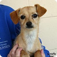 Adopt A Pet :: Scruffy - Santa Maria, CA