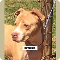 Adopt A Pet :: Petunia - Williston, VT