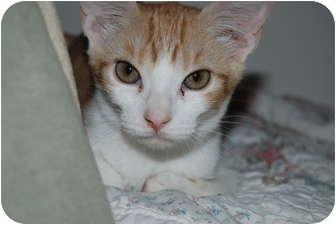 Domestic Shorthair Cat for adoption in Scottsdale, Arizona - Sparkles