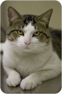 Domestic Shorthair Cat for adoption in Chicago, Illinois - Mackie