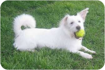Westie, West Highland White Terrier/Terrier (Unknown Type, Small) Mix Dog for adoption in Arlington, Texas - Fred