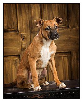 Shepherd (Unknown Type) Mix Puppy for adoption in Owensboro, Kentucky - Vance