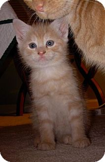 Domestic Shorthair Kitten for adoption in Reston, Virginia - Clem