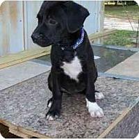 Adopt A Pet :: Ava - Alexandria, VA