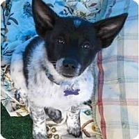Adopt A Pet :: Sir Samuel - Phoenix, AZ