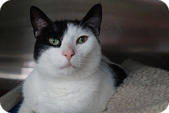 Domestic Shorthair Cat for adoption in Elyria, Ohio - Ringo