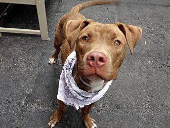 Pit Bull Terrier Mix Dog for adoption in Manhattan, New York - Roc