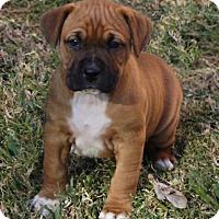 Adopt A Pet :: Belle - La Habra Heights, CA