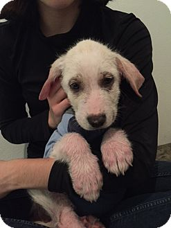 Great Pyrenees Mix Puppy for adoption in Saint Clair, Missouri - Herald