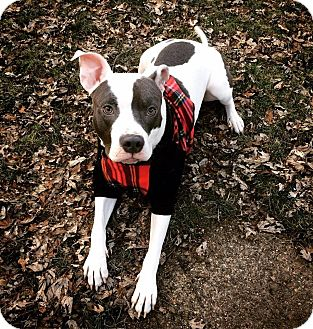 American Pit Bull Terrier/American Staffordshire Terrier Mix Dog for adoption in Warrenville, Illinois - Daryl