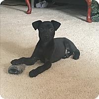 Adopt A Pet :: Little momma 4 pups - Pompton Lakes, NJ