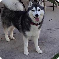 Adopt A Pet :: Isabella - Sugar Land, TX