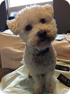 Bichon Frise Dog for adoption in Toronto, Ontario - Blitz 3429