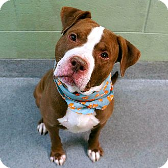 American Pit Bull Terrier Mix Dog for adoption in Ridgefield, Connecticut - Toucan
