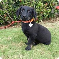 Adopt A Pet :: Kona - Gloucester, MA