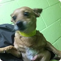 Adopt A Pet :: Little Guy - Fort Worth, TX