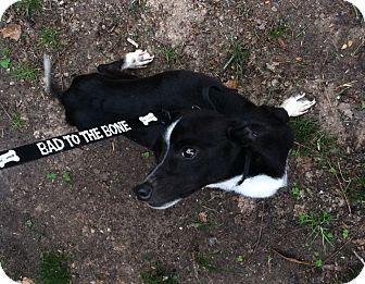 Rat Terrier Mix Dog for adoption in Haughton, Louisiana - Sammy