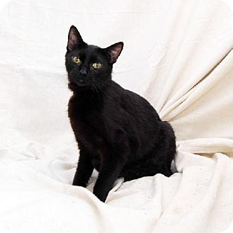 Domestic Shorthair Cat for adoption in Bonsall, California - Black Velvet