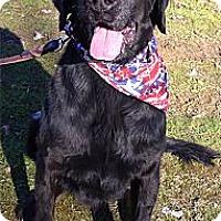 Adopt A Pet :: Gordie sweet easy trained - Sacramento, CA