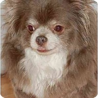 Adopt A Pet :: Angelo - Rigaud, QC