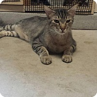 Domestic Shorthair Cat for adoption in Mesa, Arizona - Manny