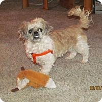 Shih Tzu Dog for adoption in Arvada, Colorado - Adrian