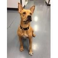Labrador Retriever/Shar Pei Mix Dog for adoption in Scottsdale, Arizona - Amelia