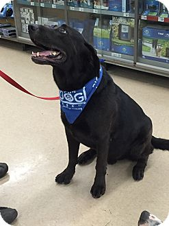 Labrador Retriever Mix Dog for adoption in Cross Roads, Texas - Chopper
