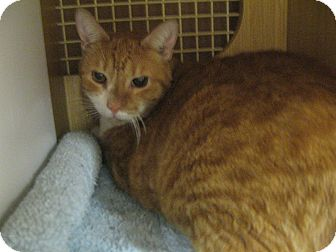 Bengal Cat for adoption in New york, New York - TEX