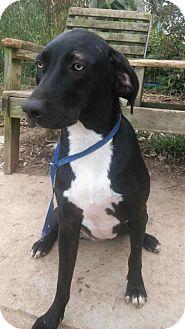 Hound (Unknown Type)/Labrador Retriever Mix Dog for adoption in Ashville, Ohio - Tasha