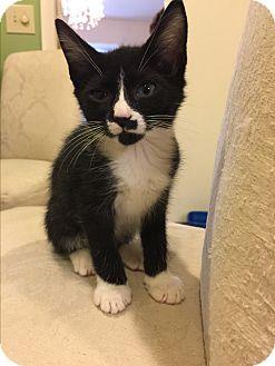 Domestic Shorthair Kitten for adoption in Cincinnati, Ohio - Venus