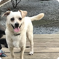Chihuahua/Terrier (Unknown Type, Medium) Mix Puppy for adoption in Redding, California - Dash adoption fee $100