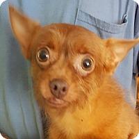 Adopt A Pet :: Grumpy - Colonial Heights, VA