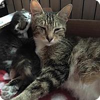 Adopt A Pet :: Molly's Litter of Six Kittens - Swansea, MA