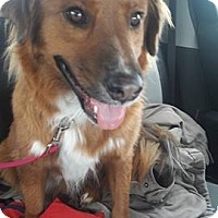 Nova Scotia Duck-Tolling Retriever/Golden Retriever Mix Dog for adoption in Staunton, Virginia - Buddy