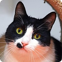 Adopt A Pet :: Patches - Norwalk, CT
