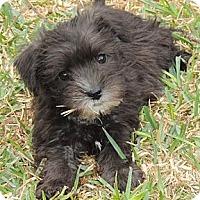 Adopt A Pet :: Olaf (Girl) - La Habra Heights, CA