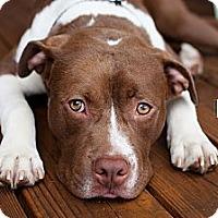 Adopt A Pet :: Duke - Reisterstown, MD