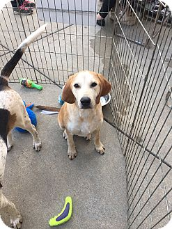 Pointer Mix Puppy for adoption in Hohenwald, Tennessee - Larry