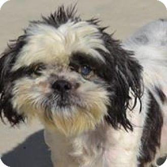 Shih Tzu Dog for adoption in Red Lion, Pennsylvania - NOAH