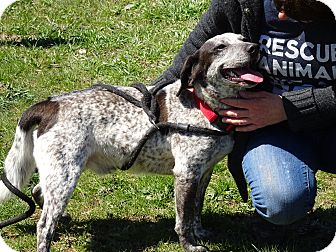 Beagle/Pointer Mix Dog for adoption in Delaware, Ohio - Petey