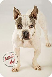 Boston Terrier/French Bulldog Mix Dog for adoption in Gillsville, Georgia - Zoey