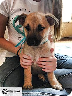Black Mouth Cur/Shepherd (Unknown Type) Mix Puppy for adoption in DeForest, Wisconsin - Pako