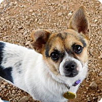 Chihuahua Dog for adoption in Spartanburg, South Carolina - Princess Leia